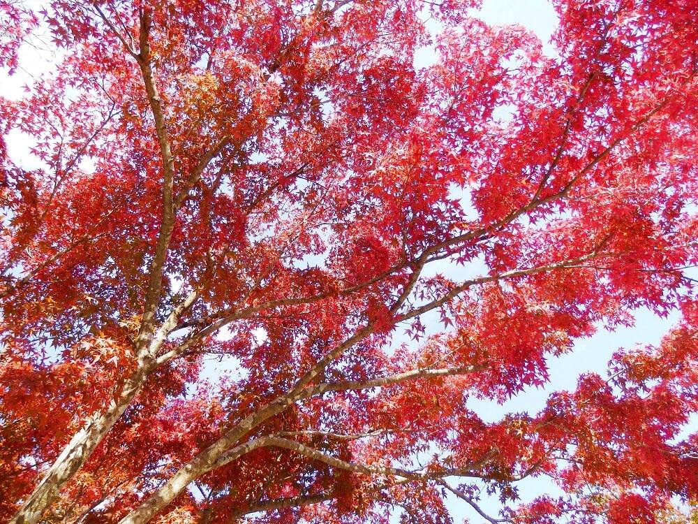 嵐山公園亀山地区の保津川(桂川)沿いの紅葉した樹木