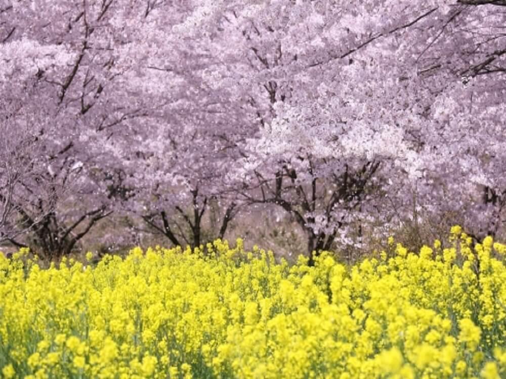 桜の花と黄色い花の画像