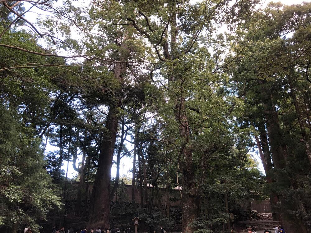 伊勢神宮の大樹