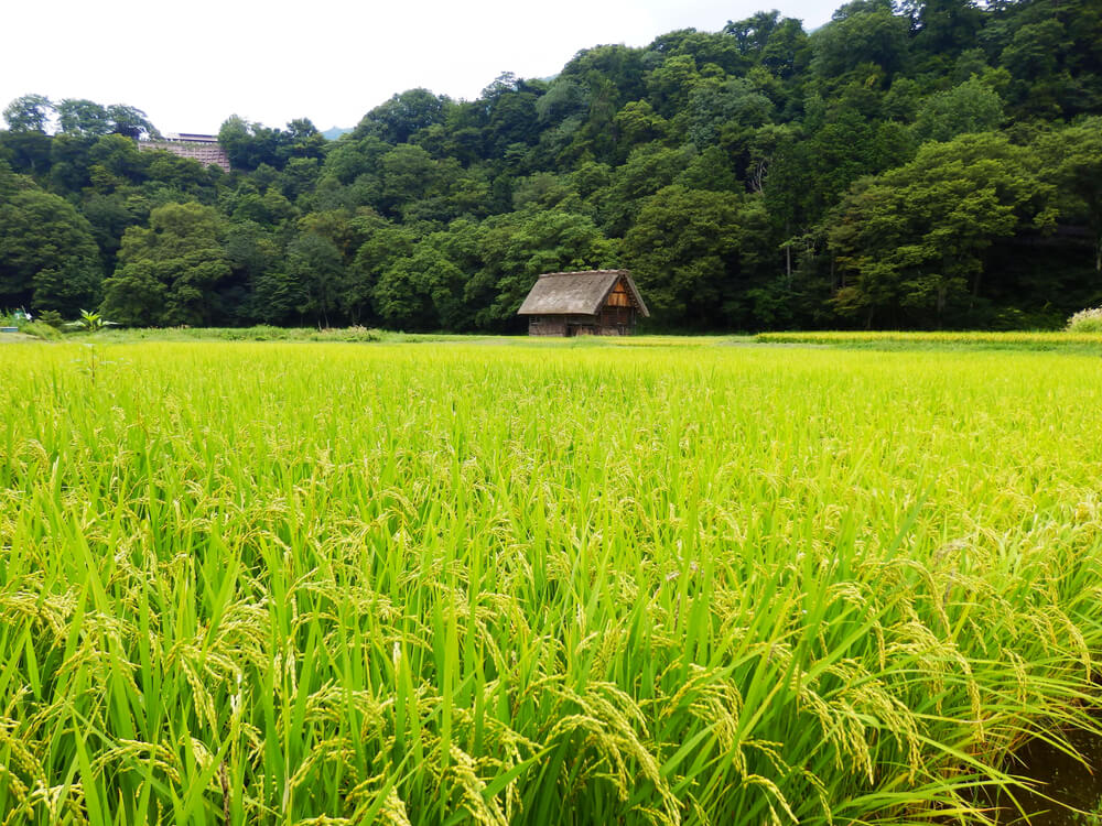 白川郷合掌村のかやぶき屋根の穀物倉庫と田園風景