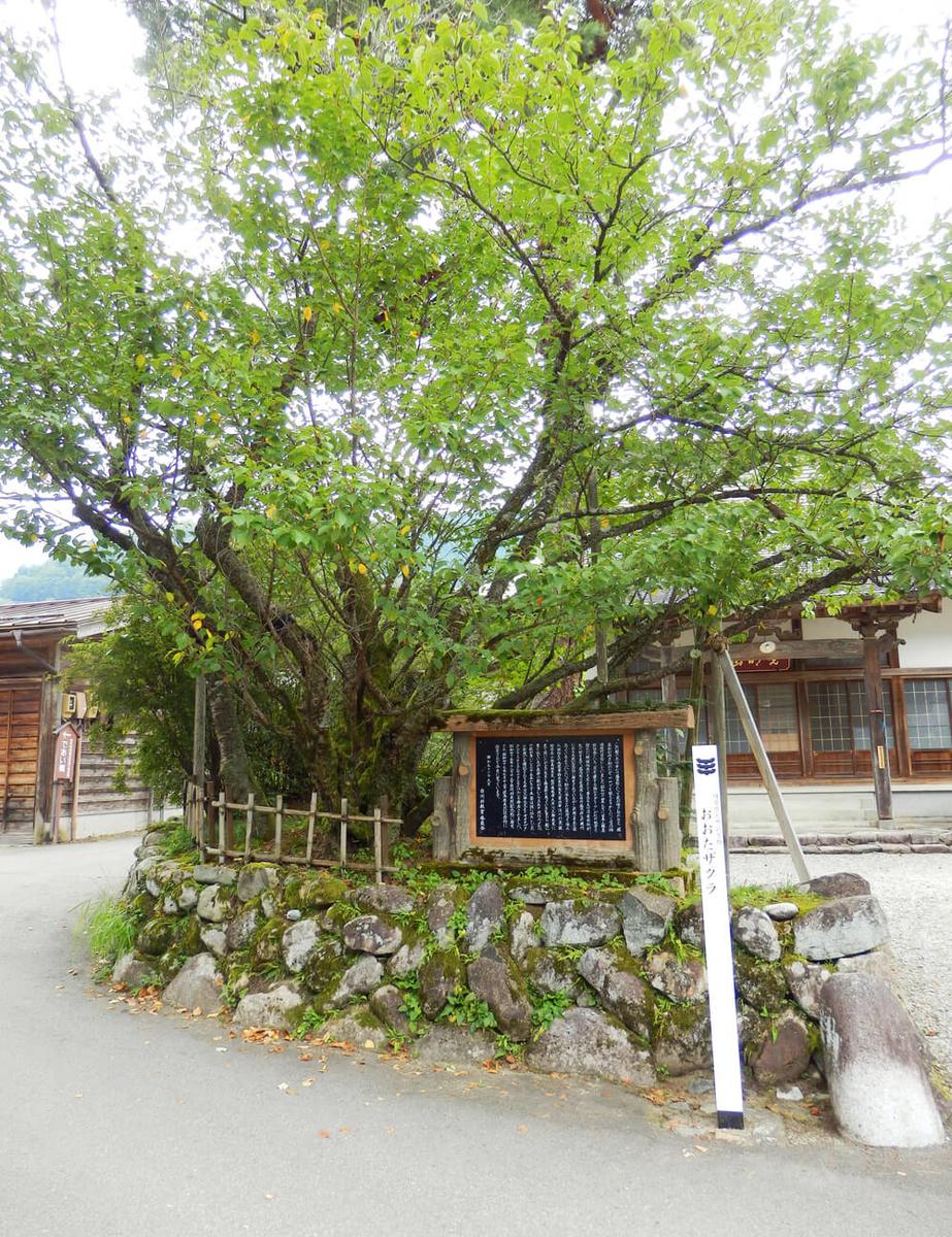 白川郷合掌村の本覚寺のおおたザクラ