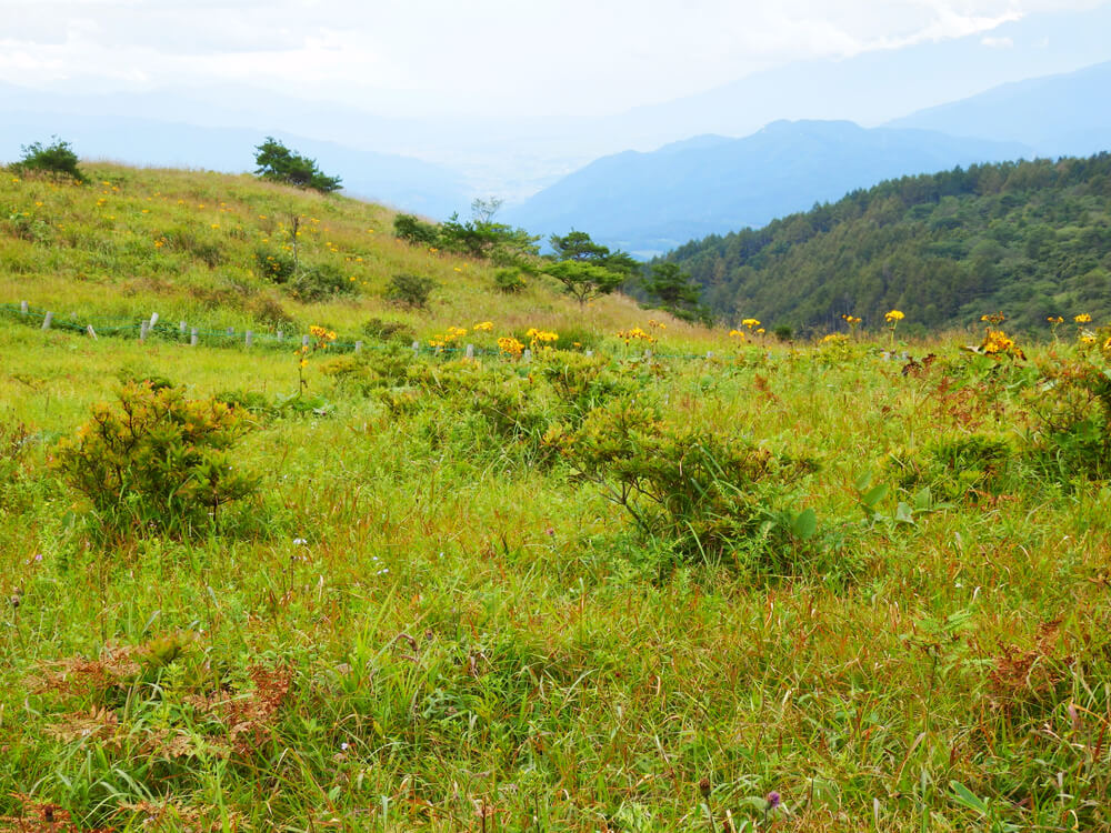 高ボッチ山頂への登山道の高山植物
