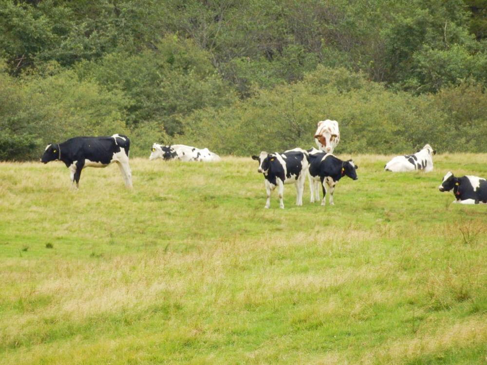 高ボッチ高原牧場の牛