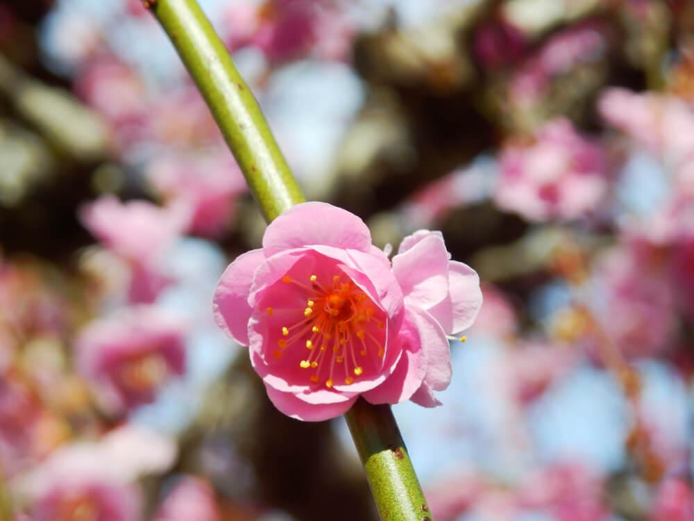 ロマントピア月ヶ瀬の駐車場の梅の花のアップ