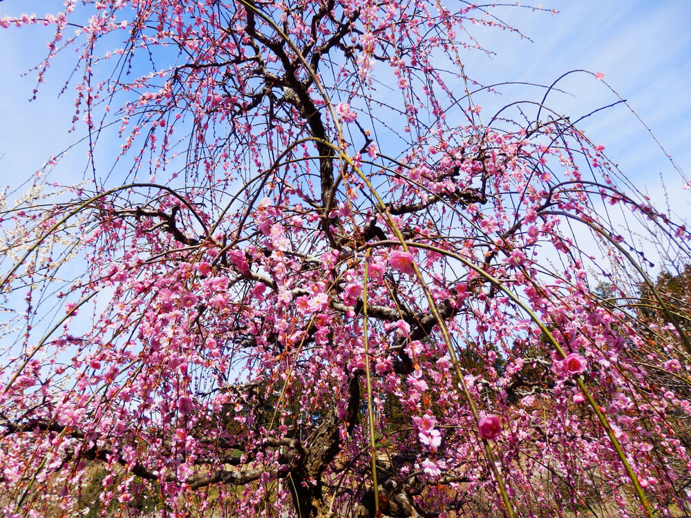 ロマントピア月ヶ瀬の駐車場横の梅の木