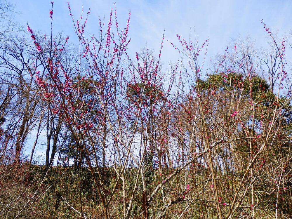月ヶ瀬梅渓の遊歩道の梅の木