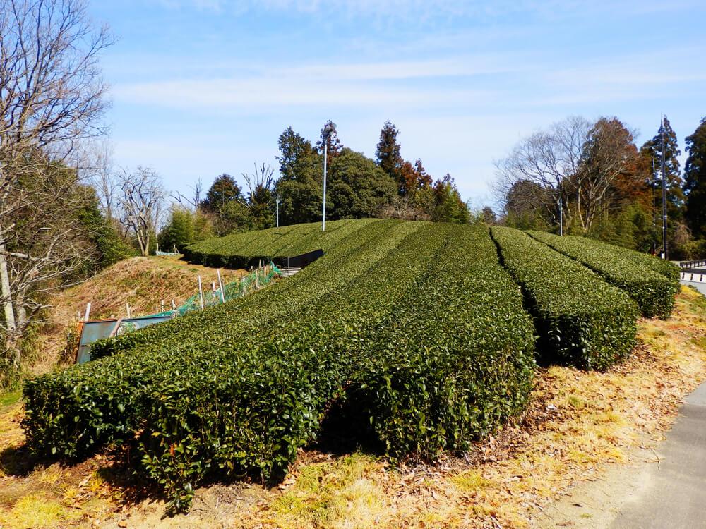 月ヶ瀬梅林公園北口から真福寺への途中の茶畑
