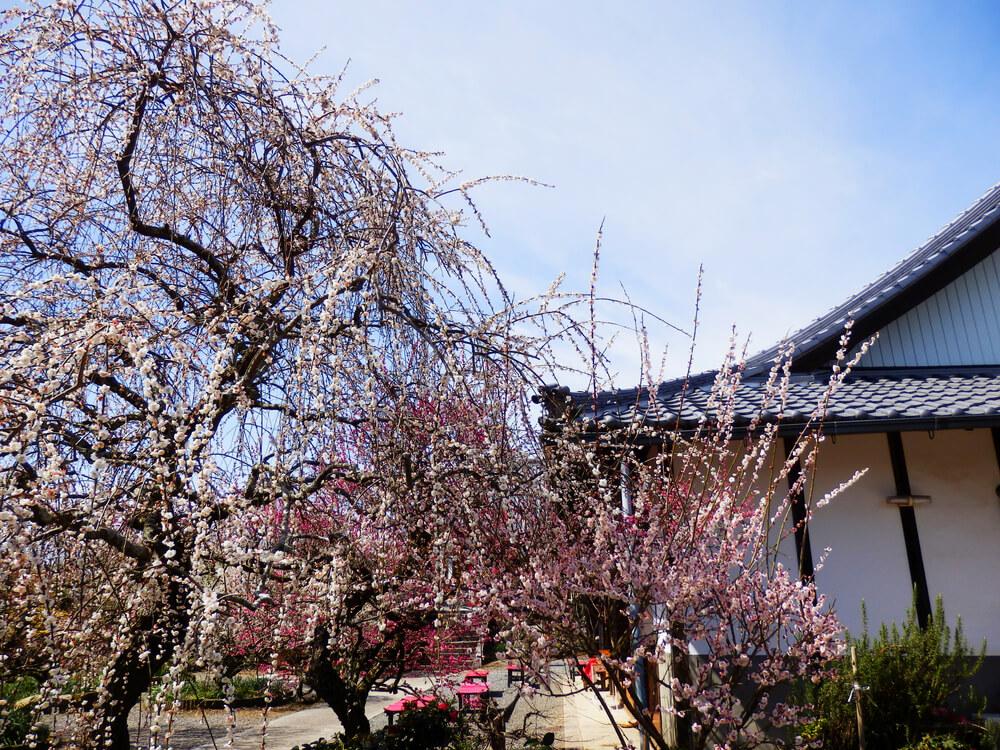 月ヶ瀬の真福寺の境内の梅の木