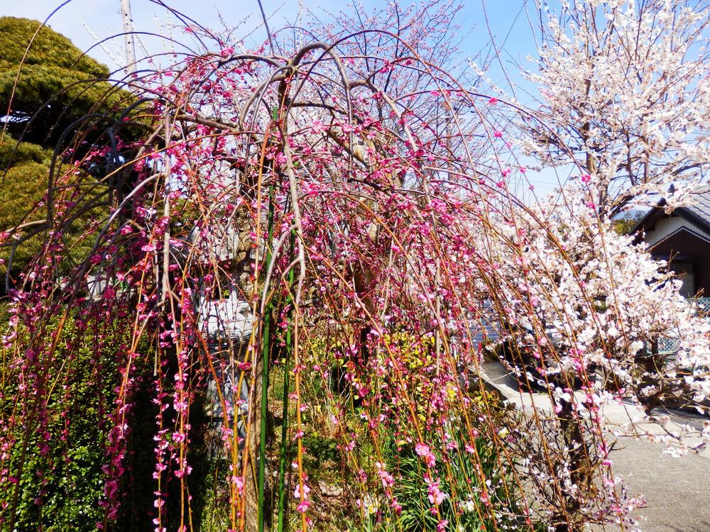 月ヶ瀬の真福寺の本堂横の枝垂れ梅