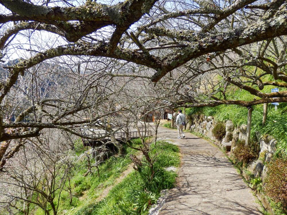 月ヶ瀬の一目八景から品種園への参道