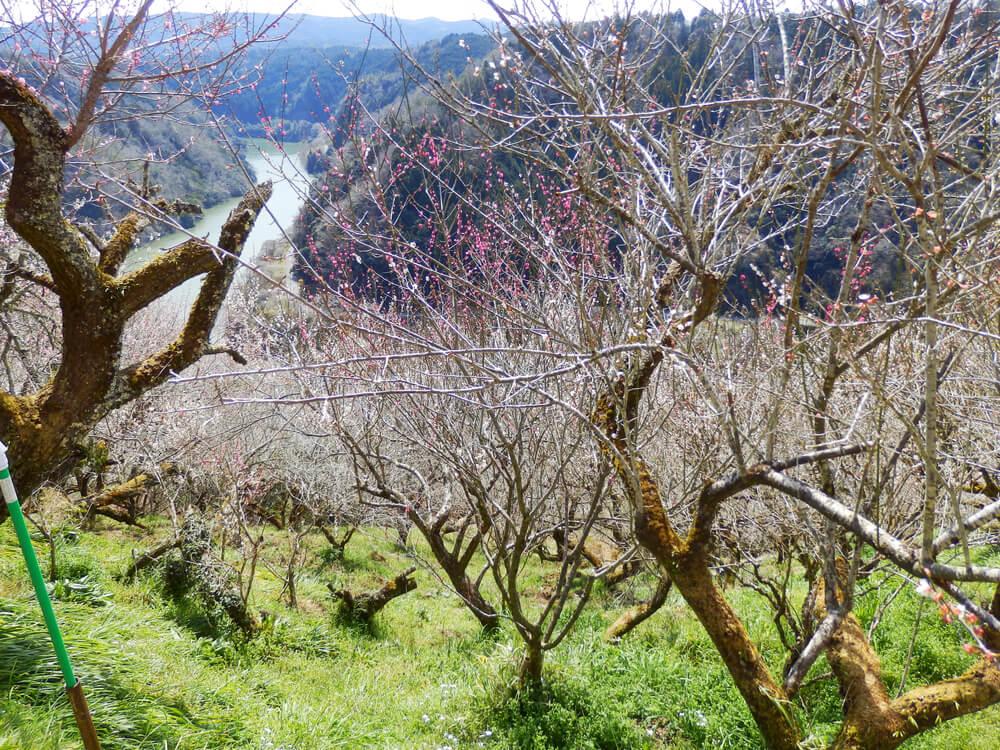 月ヶ瀬の一目八景から品種園への参道脇の梅の木