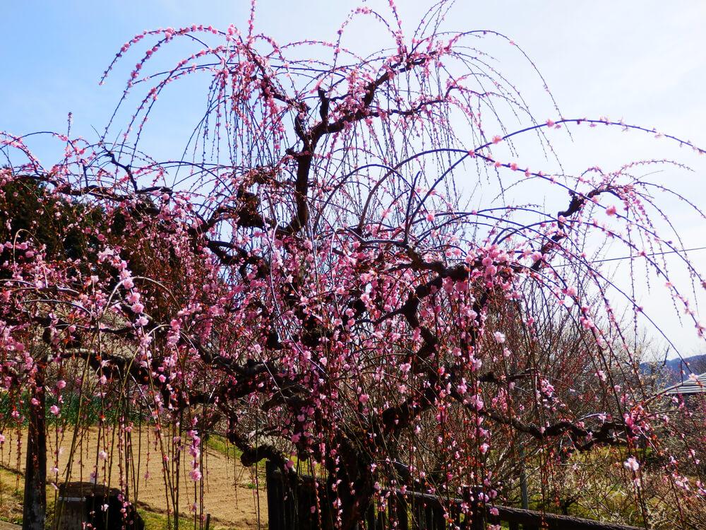 月ヶ瀬の齋藤拙堂の詩碑の横の枝垂れ梅の木