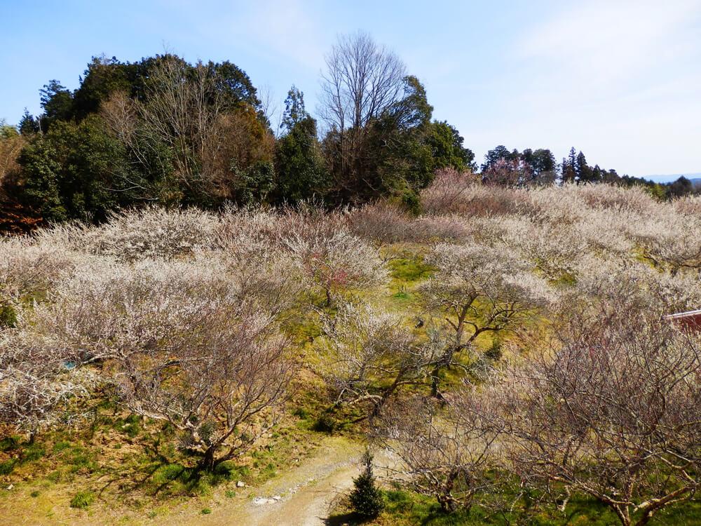 月ヶ瀬梅渓の天神梅林の梅の木