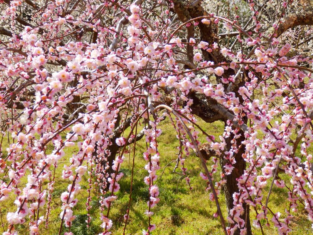 月ヶ瀬梅渓の天神梅林の枝垂れ梅