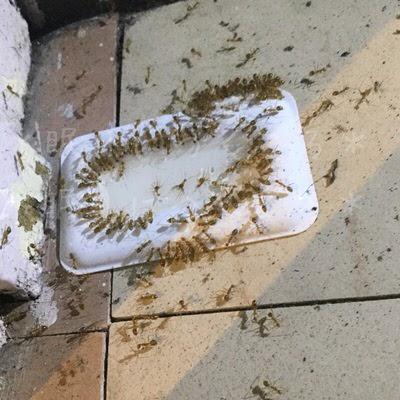 アリメツを吸ってお腹がパンパンに膨れている蟻たち