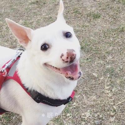 公園で笑ってる白い雑種の保護犬マリ