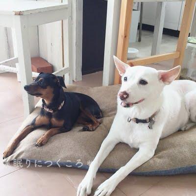 エアコン取付を見守る白犬マリさんとミニピン小町