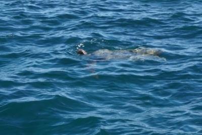 ハワイ・天使の海でウミガメに遭遇!