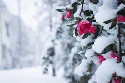 雪の日のぼたん