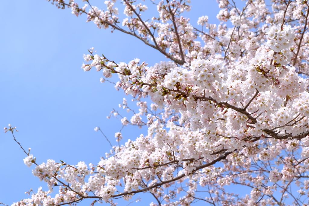 """""""桜の木/"""