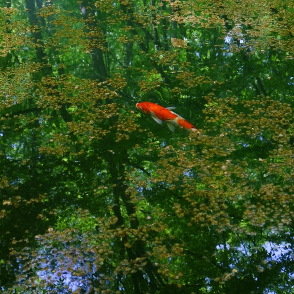 美人林の池の鯉