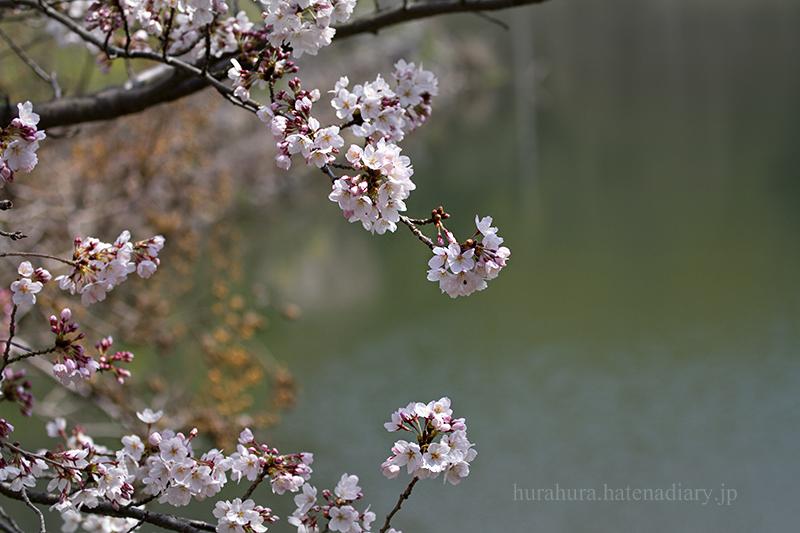桜フォト2016