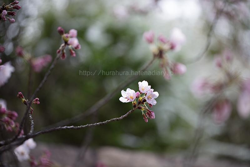 桜フォトメモ2016