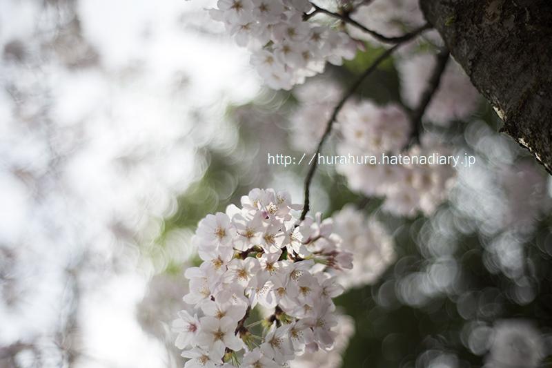 桜写真2016