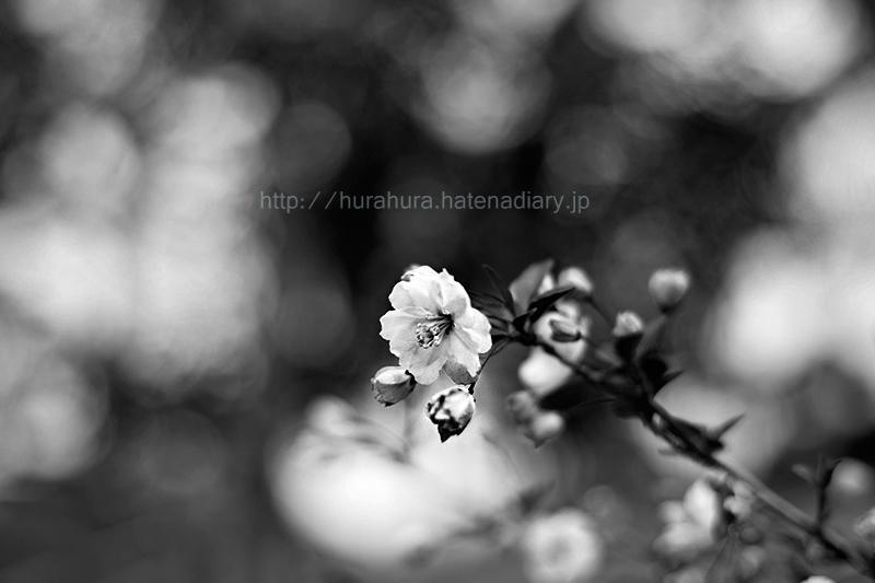 桜モノクロフォト