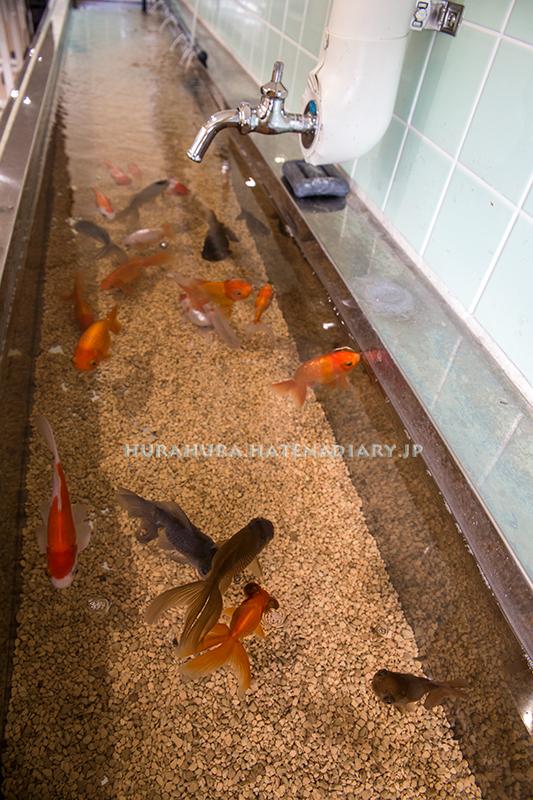 室戸廃校水族館金魚