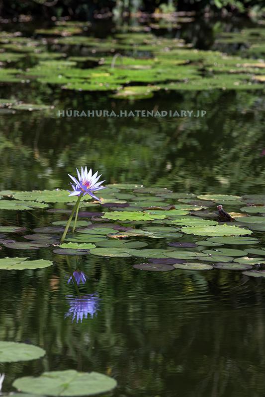 モネの庭マルモッタン青い睡蓮