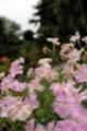 [花]馬籠宿