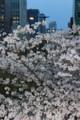 [桜]セントラルパーク
