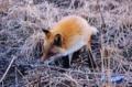 トッカリショの狐
