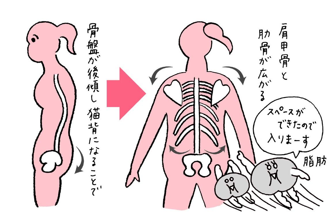 骨盤の前傾・後傾によって脂肪の入るスペースがうまれる