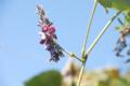 葛の花。入間川右岸、狭山市上奥富運動公園。2010/9/18 撮影。