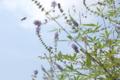 峰雀と西洋人参木。小畔川右岸、高橋付近、土手沿いの花壇。2010/9/19