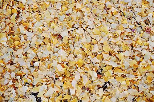 イチョウの葉っぱで地面が見えない