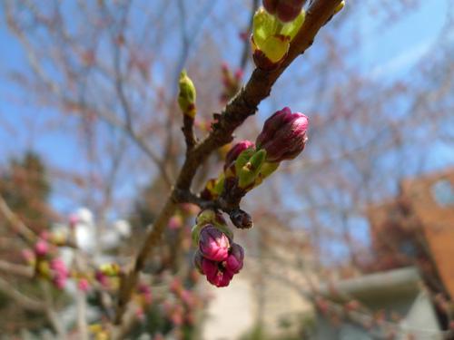 錦町公園の桜のつぼみ