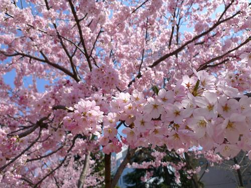 仙台の桜も満開じゃー