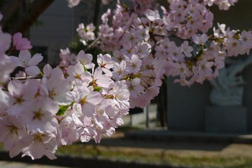 4月10日の桜
