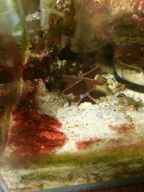 ベットリと底砂を覆うシアノバクテリア