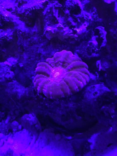 紫外線ライトに反応するコハナガタサンゴ