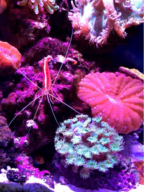 きれいなサンゴ水槽