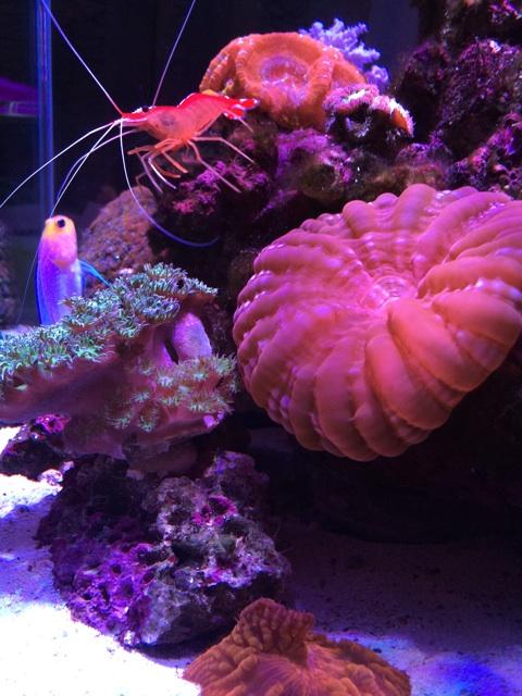 照明点灯時のサンゴ水槽とイエローヘッドジョーフィッシュとスカンクシュリンプ