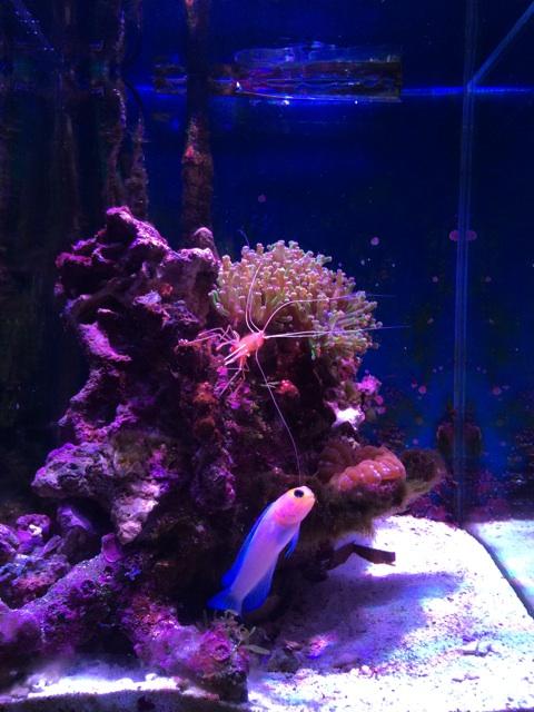 水槽に導入して2時間後のコエダナガレハナサンゴ、別名タコアシサンゴ