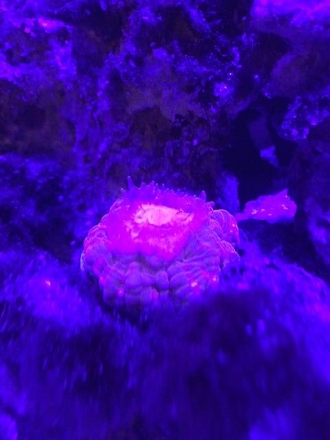 消灯時のコハナガタサンゴは小さくなり触手を出す
