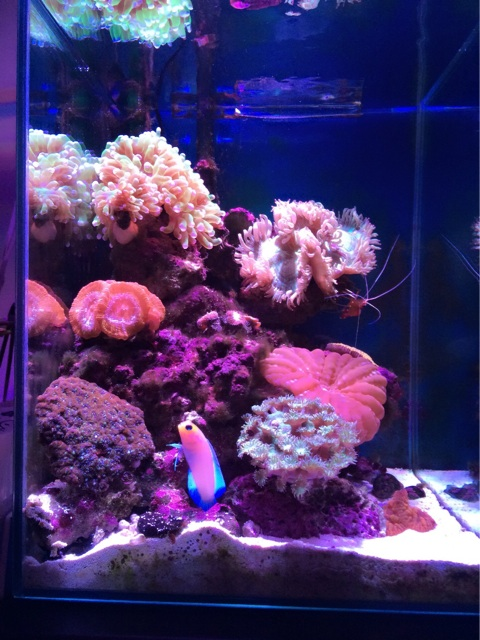 コハナガタサンゴをレイアウトしたサンゴ水槽