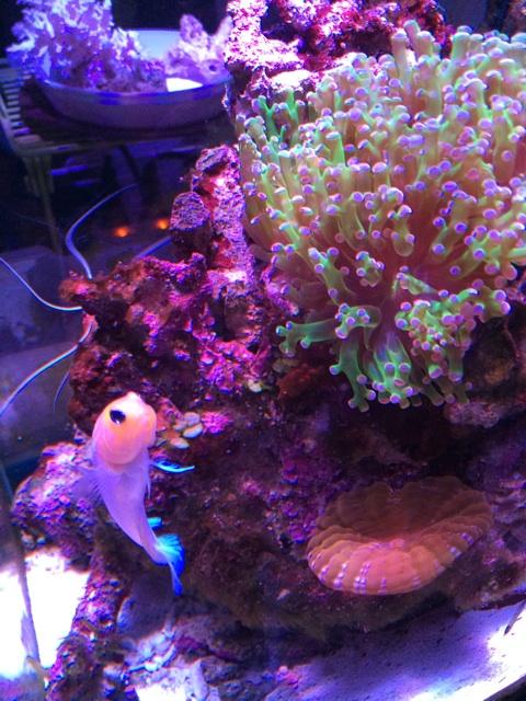 コハナガタサンゴをレイアウトした海水水槽にジョーフィッシュが泳ぐ