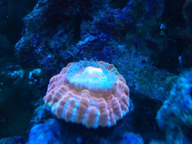 消灯時のコハナガタサンゴは小さくしぼみ、触手を伸ばす